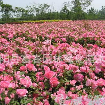 新品种丰花月季-仙境,丰花月季新品种