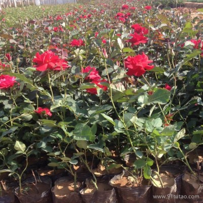 山东月季批发 大花月季价格  品种齐全 青州鑫超花卉