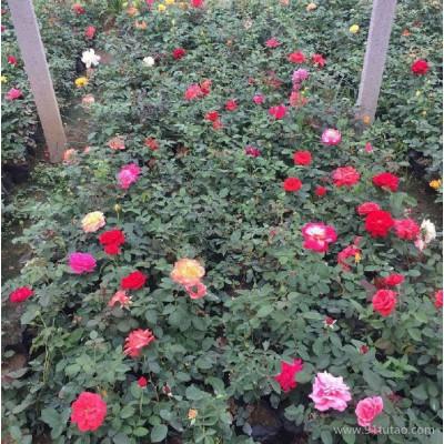 山东月季批发 大花月季 红帽月季 丰花月季 青州鑫超花卉