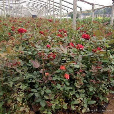 月季花 月季批发 大花月季 红帽月季 丰花月季 青州鑫超花卉基地厂家直销