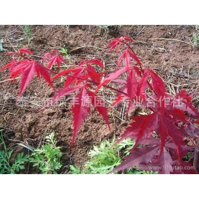 绿丰源低价促销规格齐全日本红枫 庭院防护绿化用日本红枫 价格低