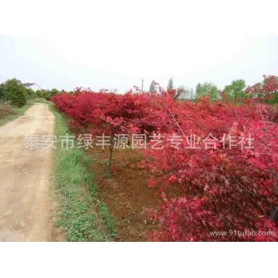 山东园艺场特价销售优质日本红枫 热卖规格日本红枫 欲购从速