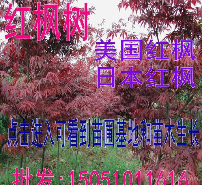 红枫 红枫树 日本红枫 美国红枫苗圃直销红枫树苗可实地参观