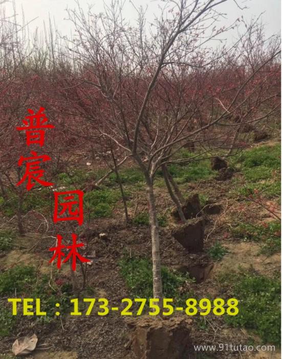 沭阳常年供应日本红枫 低价批发日本红枫 地径3cm日本红枫 基地直销  耐移栽成活率高