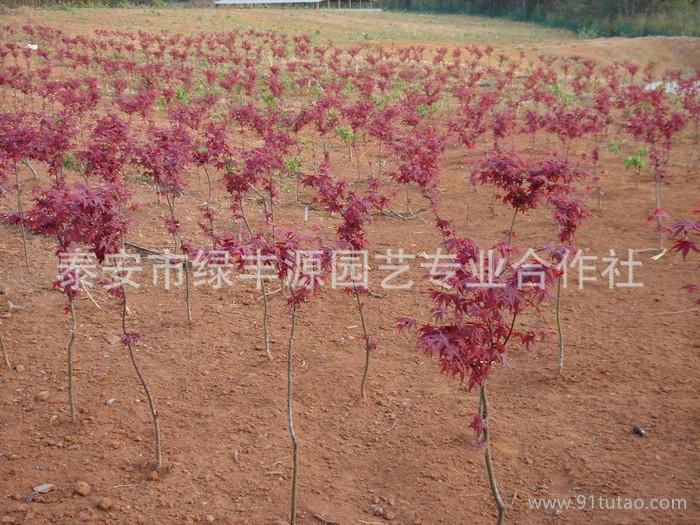 大量日本红枫 发芽率高日本红枫 价格低日本红枫 价格实惠