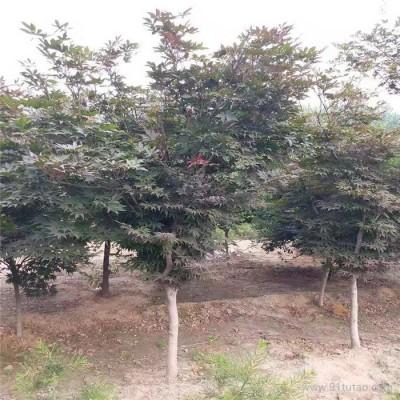 8公分日本红枫 小区绿化专用 10公分日本红枫价格 规格齐全 五棵松