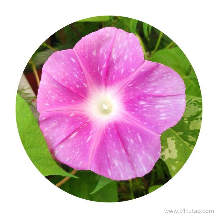 牵牛花种子批发  花海制作草花种子 花期长观赏性好