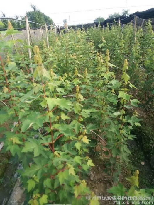 供应 美国红枫红点红枫扦插小苗 其他绿化苗木   日本红枫