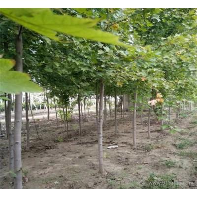 正宗日本红枫 美国红枫 四季红红枫 红枫规格齐全价格优惠量大。