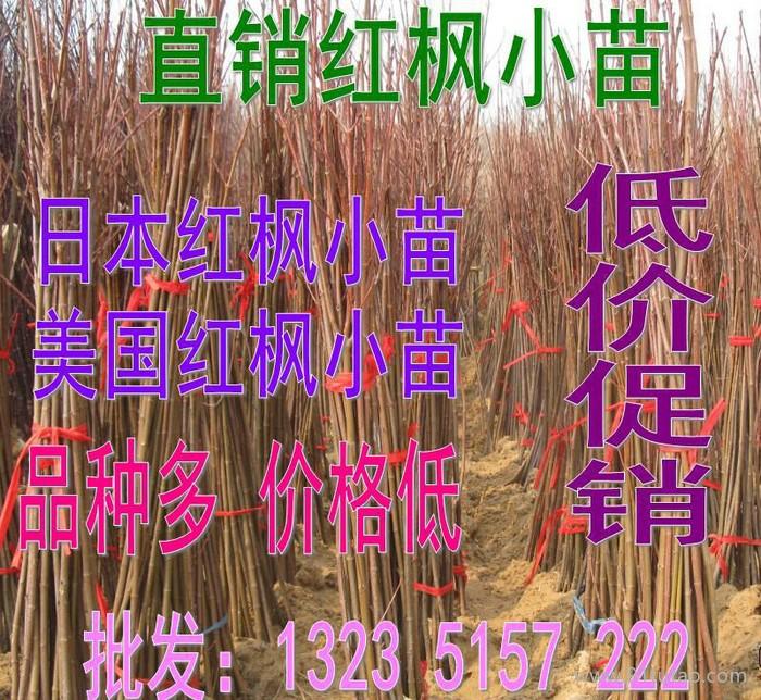 红枫小苗日本红枫小苗美国红枫小苗根系发达包成活红枫树苗