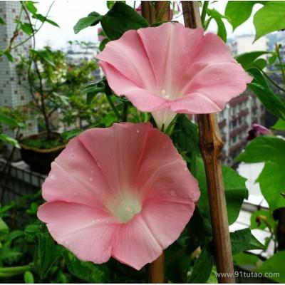 批发牵牛花种子 攀援植物 开花种子 庭院绿化