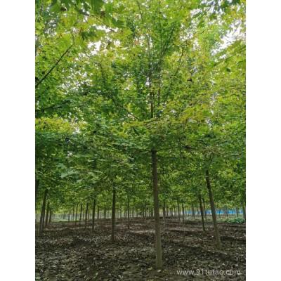 泰和苗木大量供应 红枫  美国红枫 日本红枫  秋火焰  红点   价格