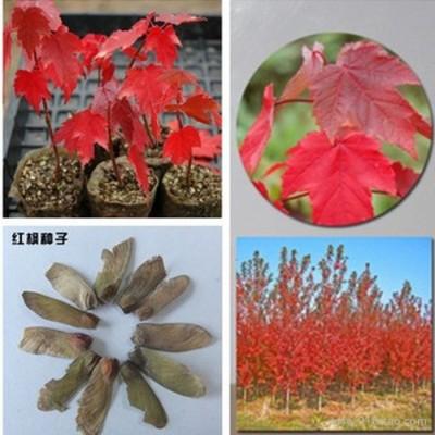 供应美国红枫种子 日本红枫种子 加拿大红枫种子 红叶羽毛枫 紫红鸡爪槭 红叶 小鸡爪槭 彩色苗木种子