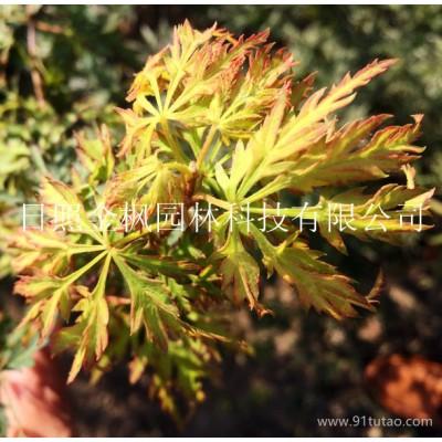 供应日照金枫 日本红枫-橙之梦 日本红枫2号(日本种源)