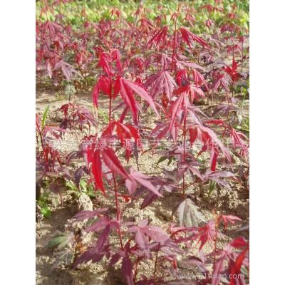 热卖造型独特日本红枫 湿地绿化用日本红枫 日本红枫