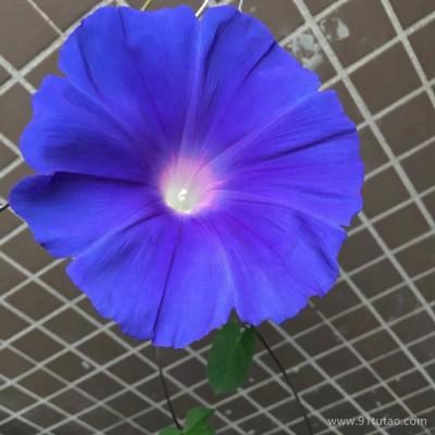 优质草本花卉种子 牵牛花种子 观赏植物 牵牛花易种植
