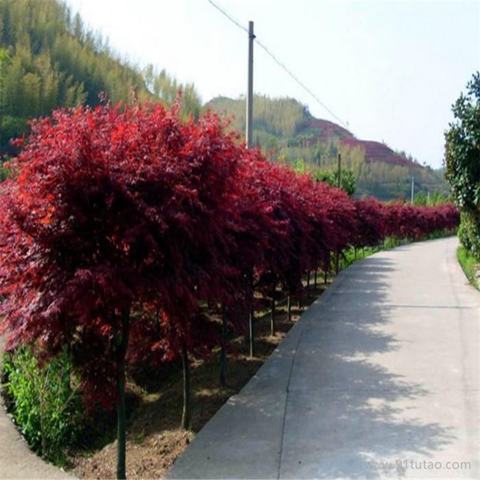 日本红枫,别称日本红丝带,沭阳富春园林是日本红枫树苗优质供应商,苗圃基地大量现货出售,价格低品种优规格全,欢迎采购批发