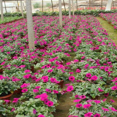 新大洲xdz 厂家直销 批发花卉种子 垂吊牵牛花