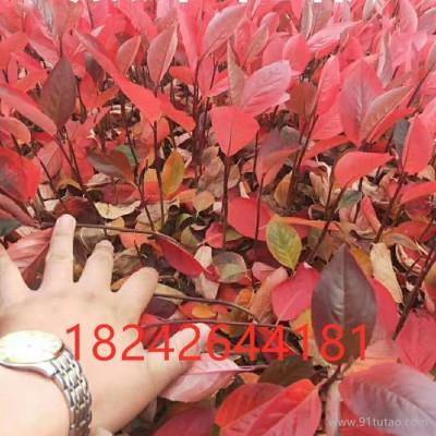 花楸  黑果花楸树 2-3年苗  品种纯正 产量高 规格齐全 量大优惠