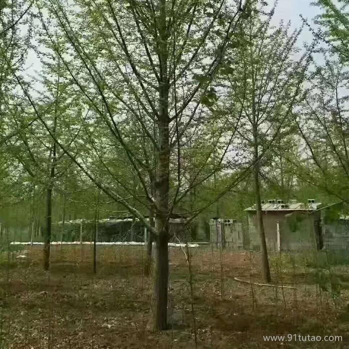 老班长 白果树 白果树价格 绿化银杏树价格 绿化苗木
