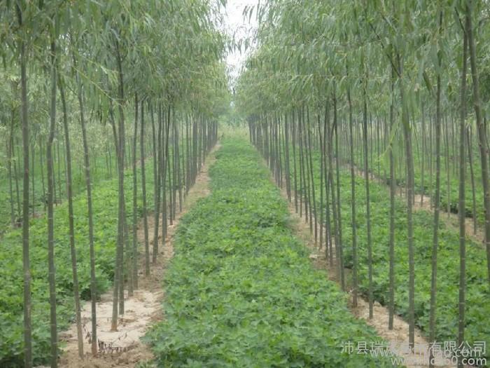 江苏竹柳胸径10公分竹柳 米径10公分竹柳基地美国竹柳基地