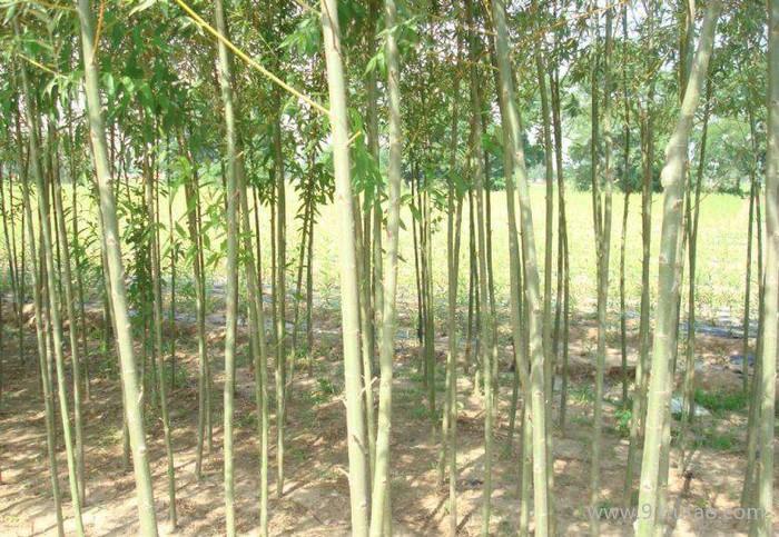 速生树种--正宗美国竹柳