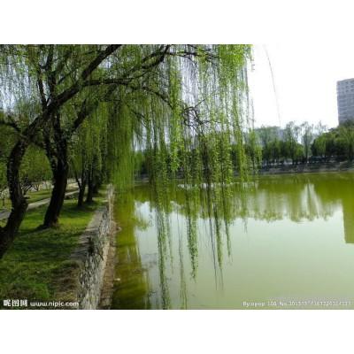园艺场供应优质美国竹柳
