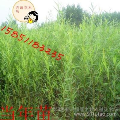 供应沭阳县卉溢花木场柳树类美国竹柳苗绿化苗木