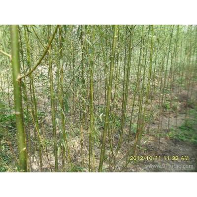 供应华隆6美国竹柳的种植