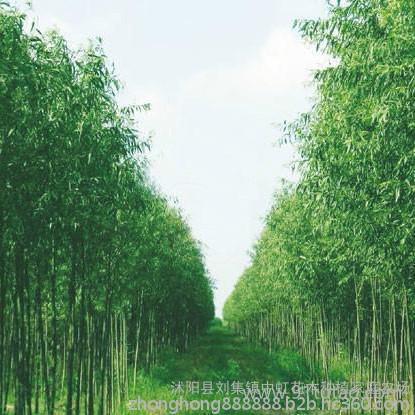 优质美国竹柳价格优惠