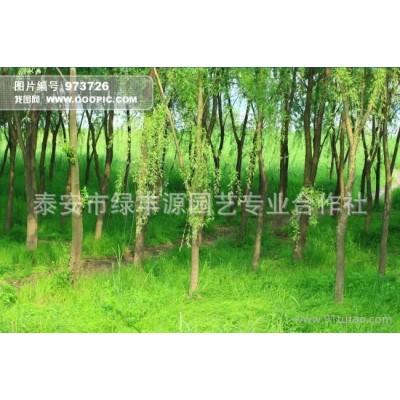 直销美国竹柳树苗 优质速生柳树苗 防护树竹柳小苗
