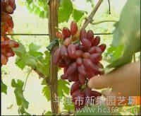 供应葡萄苗.樱桃苗.桃树.桃苗.苹果苗等各种果树苗以及绿化苗