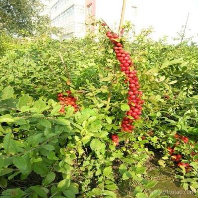 钙果苗繁育枣庄市钙果苗种植