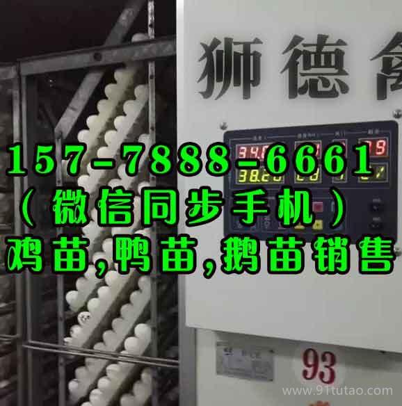 益阳元宝鸡苗价格行情 云南鹌鹑养殖基地