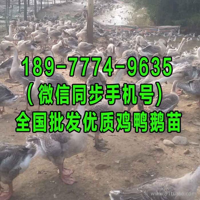 抚顺元宝鸡苗孵化基地 长沙土鸡养殖基地