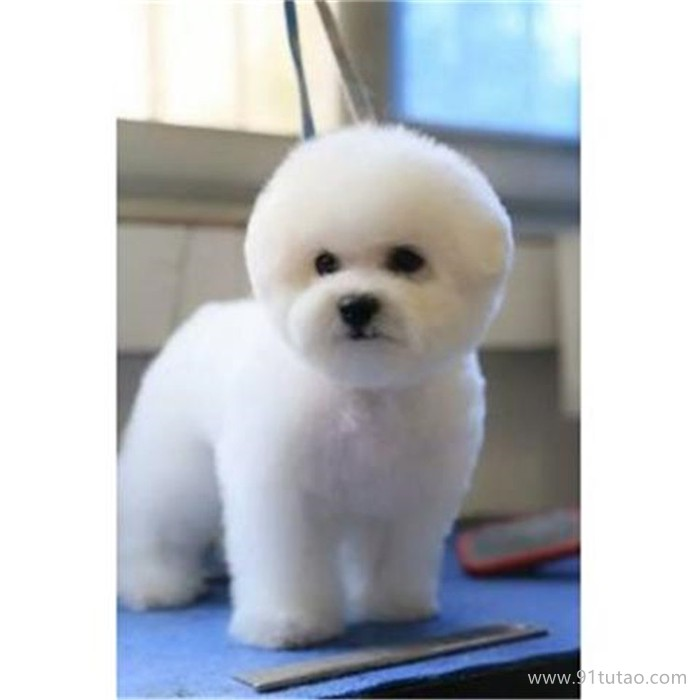 恒发 纯种爆毛小体比熊犬活体 小体比熊犬 宠物批发 价格面议