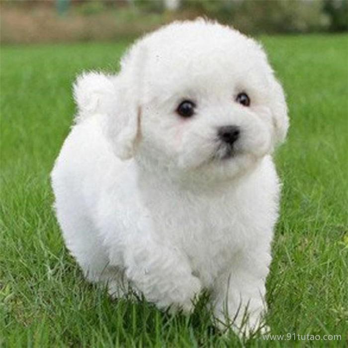 恒发 纯种爆毛小体比熊犬 纯种比熊幼犬活体 宠物批发 价格面议