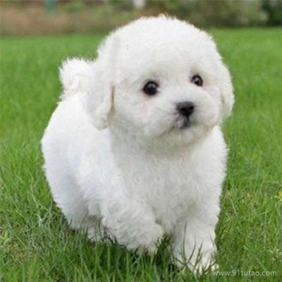 恒发 纯种比熊幼犬活体 纯种比熊幼犬活体 宠物 放心购买 价格面议
