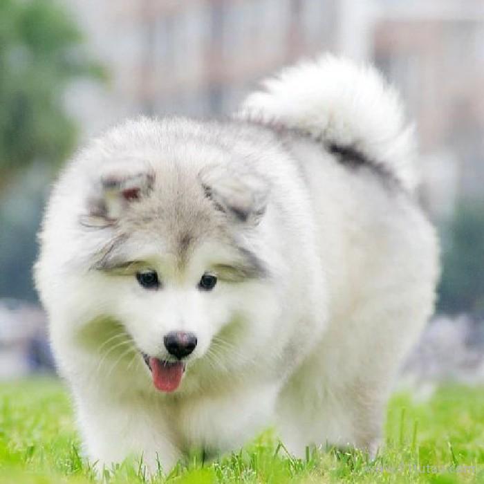 犬舍养殖 纯种阿拉斯加幼犬 纯种阿拉斯加幼犬价格 大头熊版双血统阿拉斯加