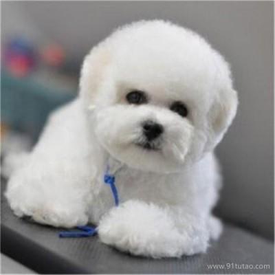 恒发 纯种爆毛小体比熊犬活体 出售纯种比熊犬幼犬 宠物价格 价格面议