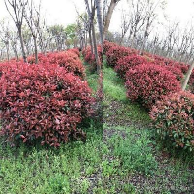 【新之圣苗木】 红叶石楠球 红叶石楠球报价 红叶石楠球批发 西安红叶石楠球种植基地