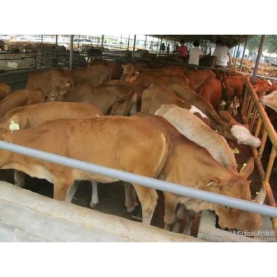 中国牛网 中国肉牛网 中国优质牛网 中国牛犊网
