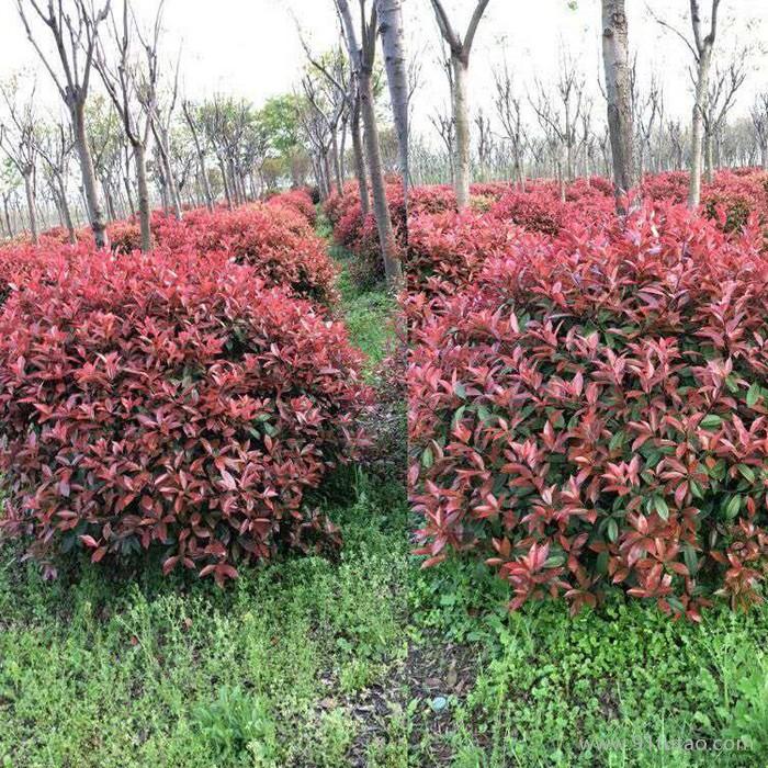 红叶石楠球基地  红叶石楠球  红叶石楠球种植  红叶石楠球种植基地 批发红叶石楠球