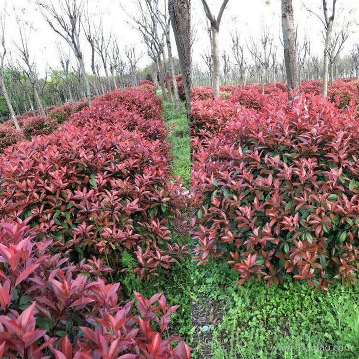 洛阳红叶石楠种植基地 红叶石楠价格 红叶石楠批发 厂家批发红叶石楠