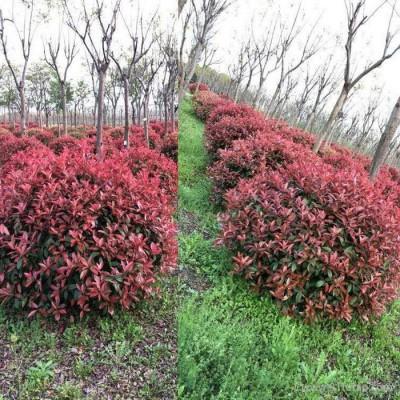 红叶石楠球 红叶石楠球基地 红叶石楠球种植基地 红叶石楠球批发 批发红叶石楠球