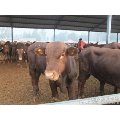 福州牛网 中国肉牛网 中国优质牛网 中国牛犊网