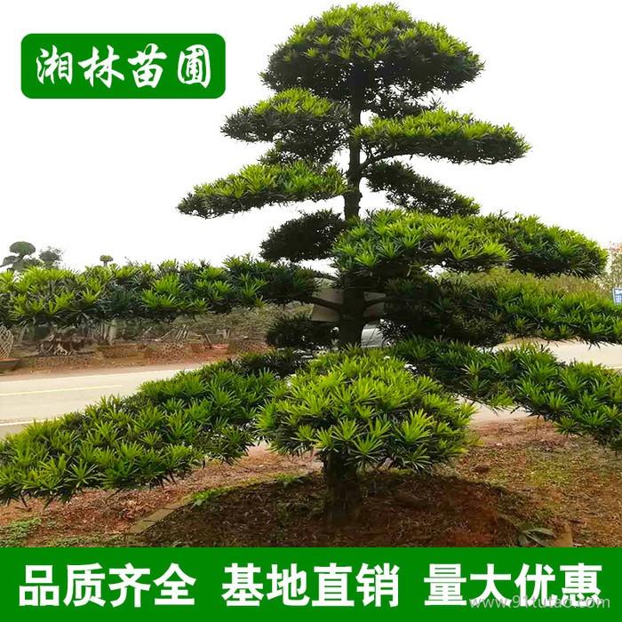 【基地直销】造型罗汉松工程绿化 造型罗汉松 规格齐全批发