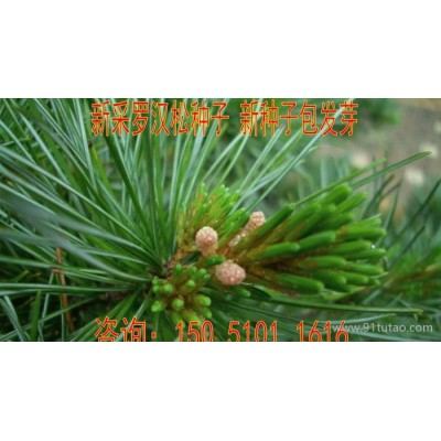出售罗汉松种子长青罗汉杉种子珍珠罗汉松种子低价促销货到付款