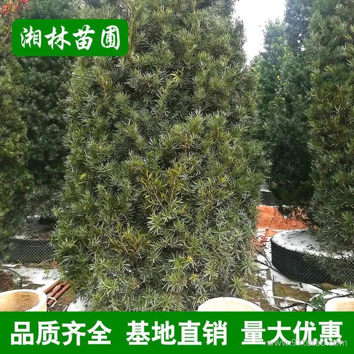 批发塔形罗汉松 塔家植物园林工程绿化 规格齐全 量大优惠