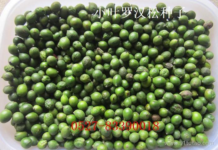 批发罗汉松种子,小叶罗汉松种子 罗汉松播种季节已经销售